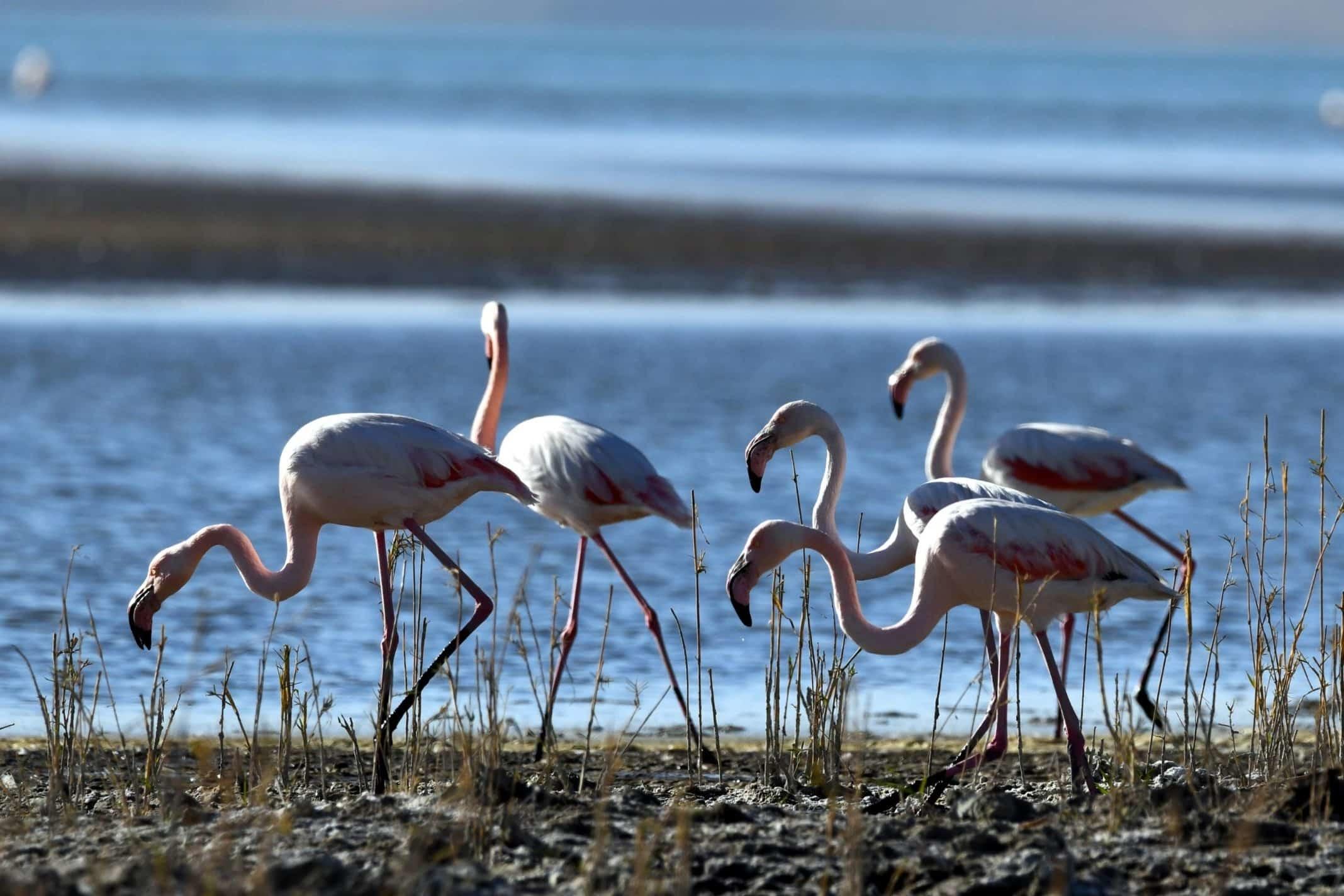 Flamingolar afrika'ya göç ediyor