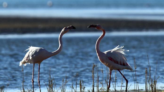 Van gölü havzasında görsel şölen sunan flamingolar havaların soğumasıyla birlikte afrika'ya göç ediyor.