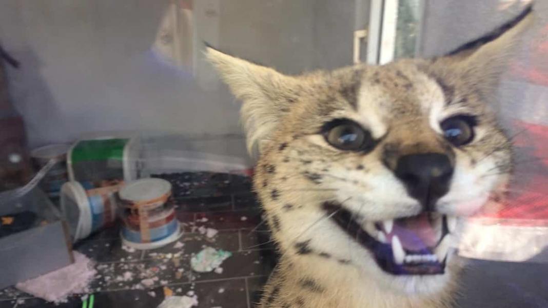 Ülkeye kaçak sokulan afrika vahşi kedisi ele geçirildi
