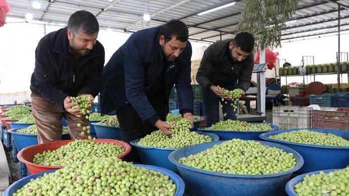 Günde 5 ton yeşil zeytin satılıyor