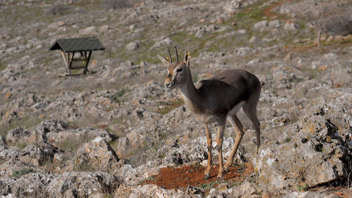 Türkiye'de sadece hatay'da yaşayan dağ ceylanları özel olarak korunuyor.