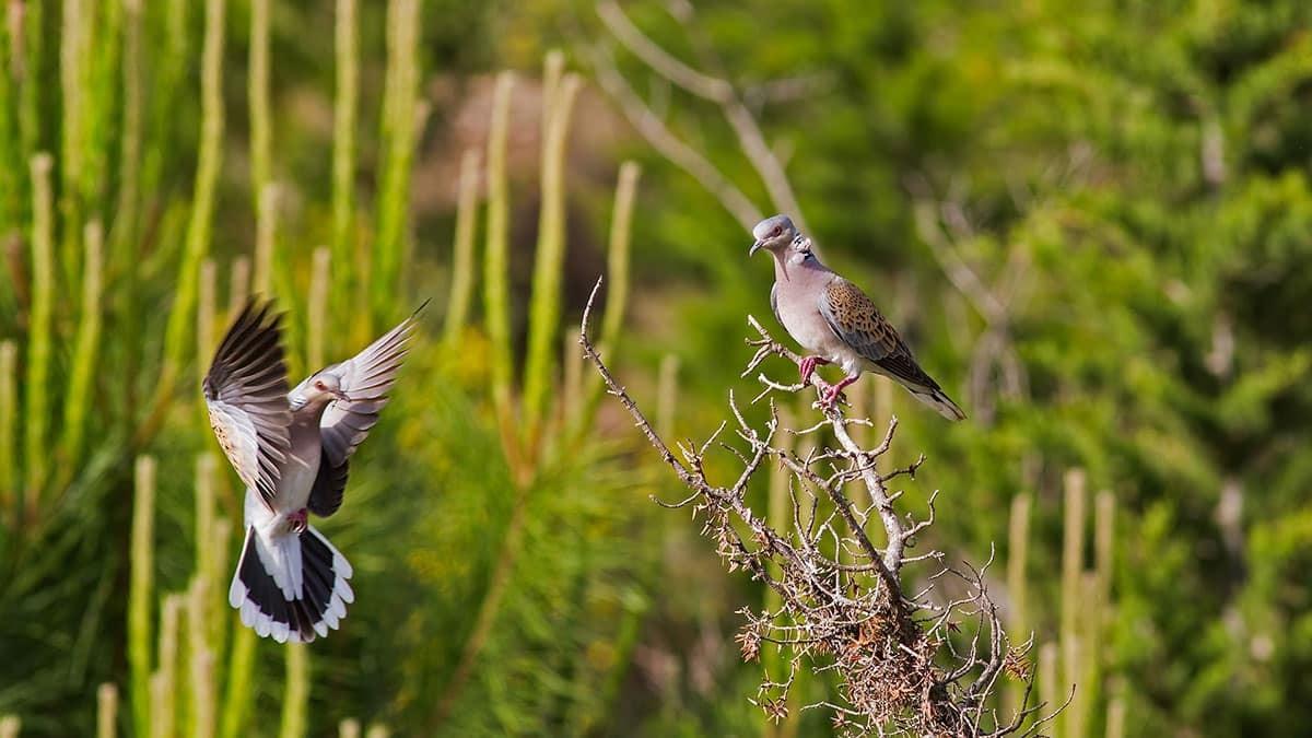 120 güvercin soyu tehlikede