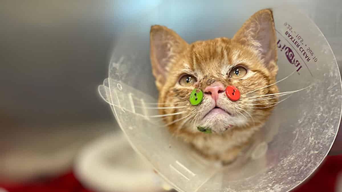Yüzü parçalanmış kedi düğmelerle tedavi edildi