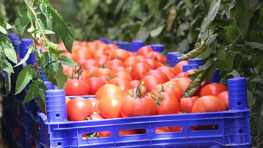 Rusya'ya domates sevkiyatı 10 gün içinde başlayacak