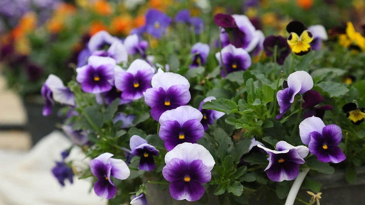Antalya'da yenilebilir çiçekler arasında yer alan ve dilde, ağızda elektrik çarpması hissi veren elektrik çiçeğine talep arttı.