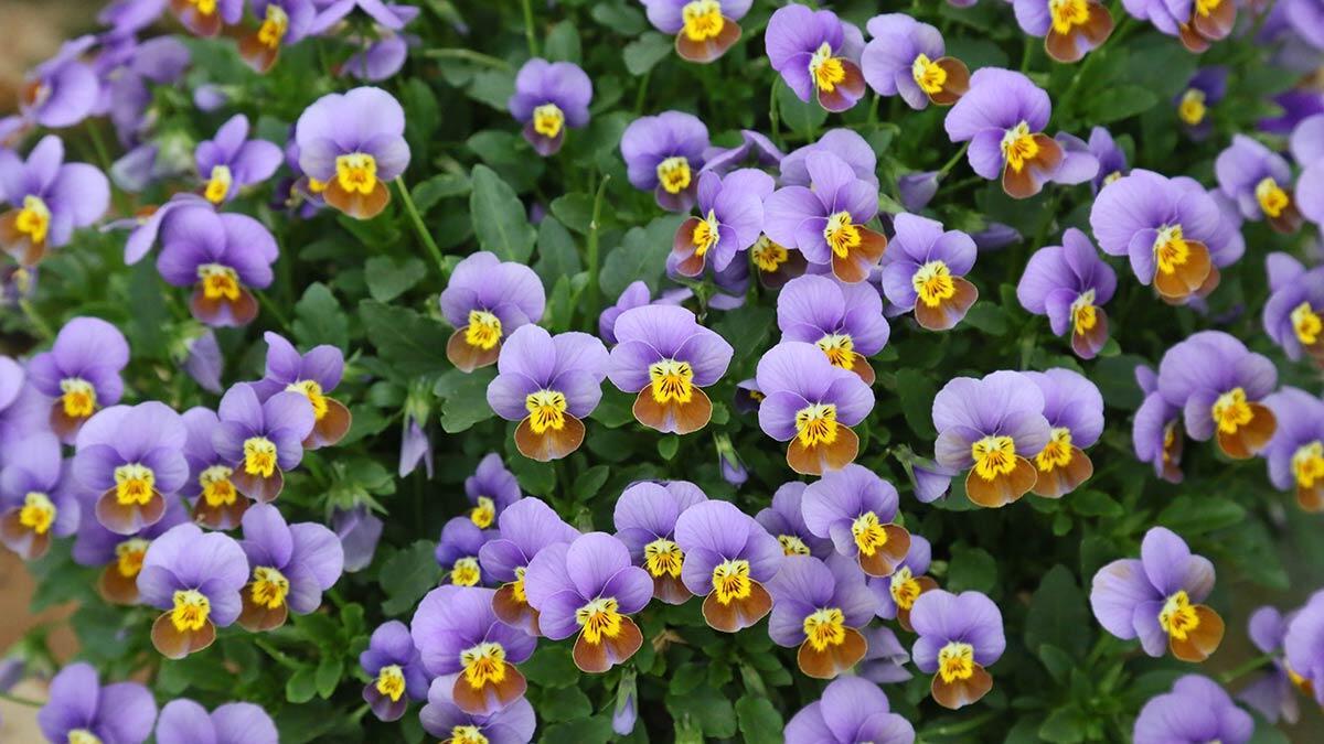 Elektrik çiçeği, ağız temizliği ve sonrasında yenilen şeylerin aromasını daha yoğun hissetmeyi sağlıyor.