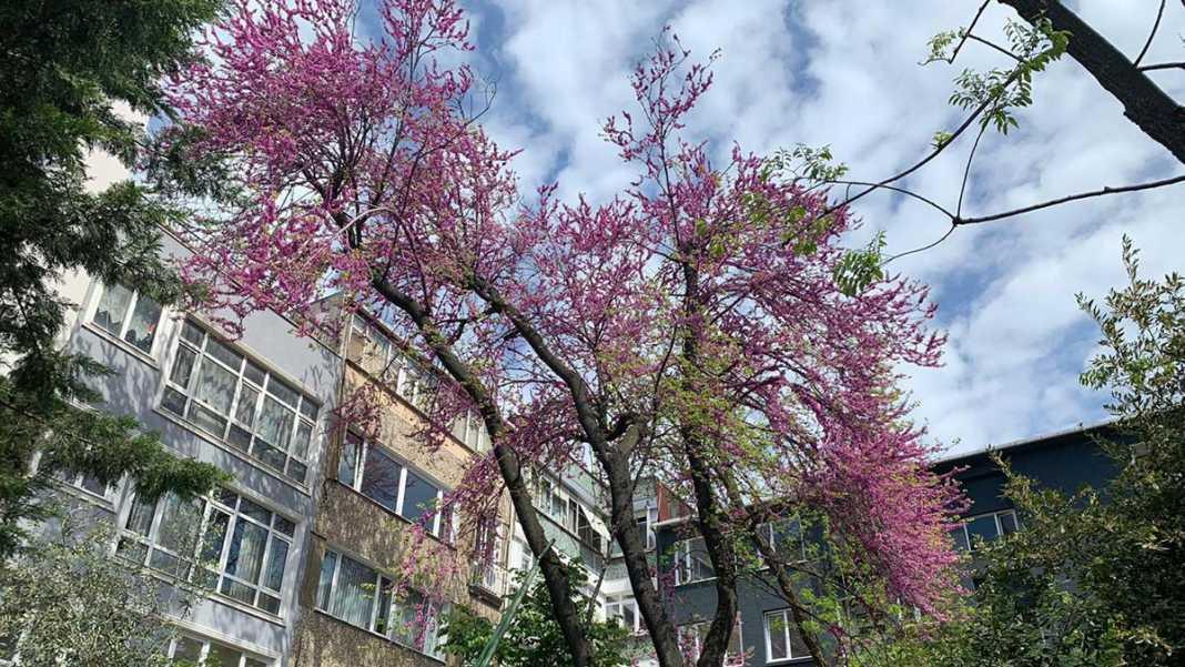Erguvan ağacını mahalle sakinleri kurtardı