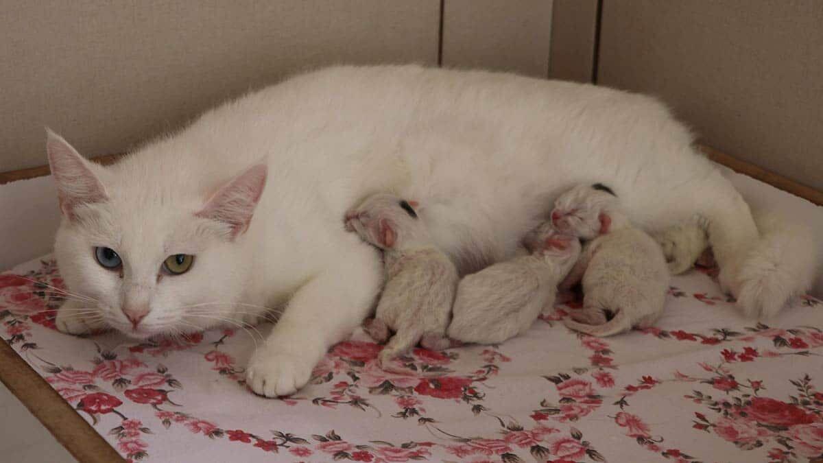 Van kedileri 2021'in ilk yavrularını doğurdu