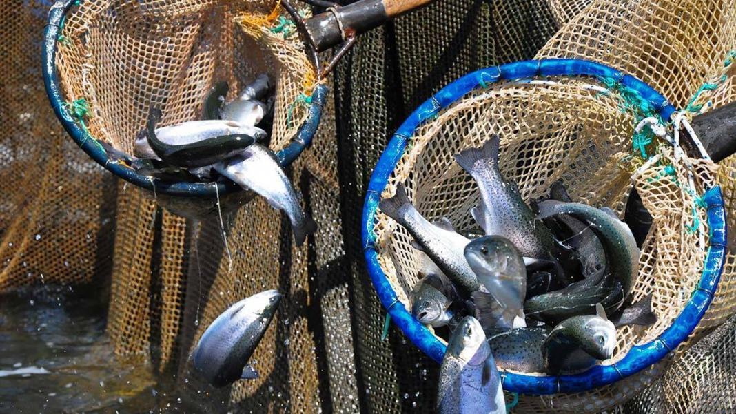 Manisa alabalığı dünyaya ihraç ediliyor