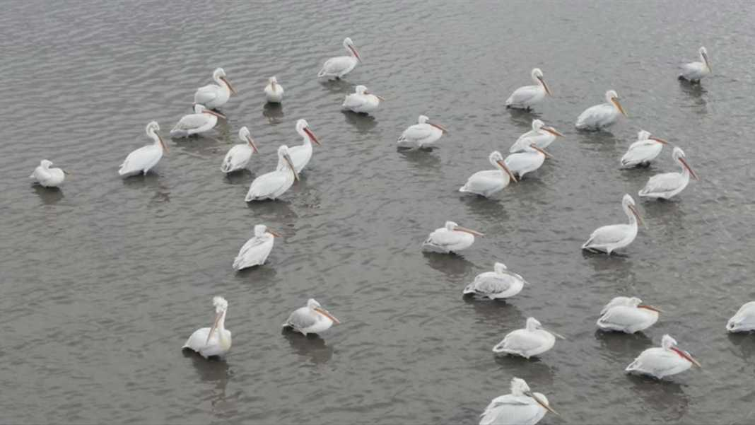 Kuyucuk kuş cenneti tepeli pelikanları ağırladı