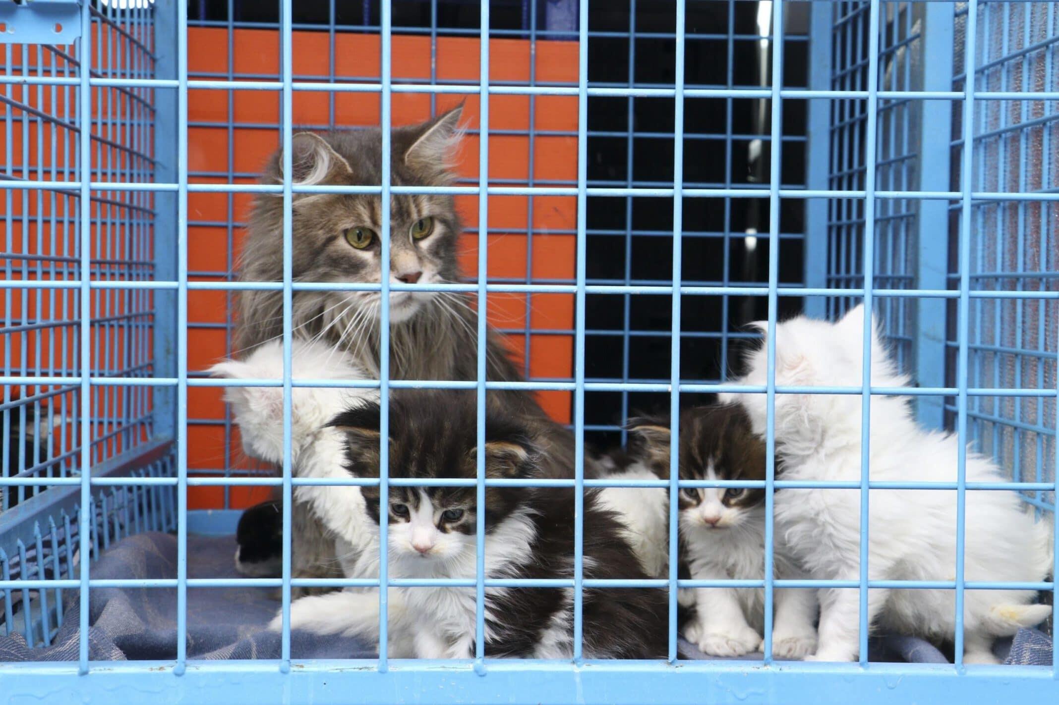 Melek n. 'nin evine yapılan baskında uygunsuz koşullarda beslediği için el konulan 29 norveç orman kedisinden 11'i sahiplendirildi, 18 yavru bakım altında.