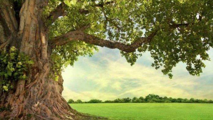 Ulu ağaç!...